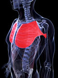 Highlighted pectoralis major Royalty Free Stock Images
