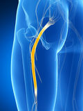 Highlighted sciatic nerve Stock Photography