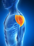 Highlighted shoulder muscle Royalty Free Stock Photography