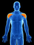 Highlighted shoulder muscle Royalty Free Stock Image