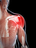 Highlighted shoulder muscle Stock Photos