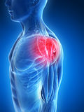 Highlighted shoulder muscles royalty free illustration