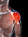 Highlighted shoulder musculature Stock Image
