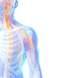 Highlighted shoulder nerves Royalty Free Stock Photo