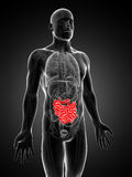 Highlighted small intestines Royalty Free Stock Photos