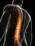 Highlighted spinal chord. 3d rendered illustration of the spinal chord Stock Image