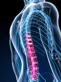 Highlighted spinal cord Stock Image