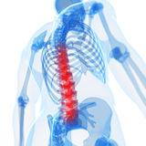Highlighted spinal cord Royalty Free Stock Photography