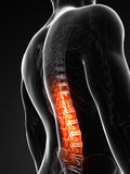 Highlighted spinal cord Stock Photo
