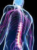 Highlighted spinal cord. 3d rendered illustration of the spinal cord Royalty Free Stock Photos