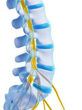 Highlighted spinal cord Royalty Free Stock Image