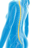 Highlighted spinal cord Royalty Free Stock Photo