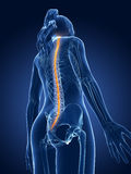 Highlighted spinal cord. 3d rendered medical illustration - spinal cord Stock Photos