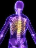 Highlighted spine royalty free illustration