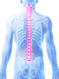 Highlighted spine. 3d rendered illustration - human spine Stock Photo