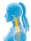 Highlighted spine. 3d rendered medical illustration - painful spine Royalty Free Stock Photography