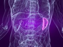 Highlighted spleen Stock Images