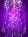 Highlighted stomach Stock Image