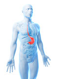 Highlighted stomach Royalty Free Stock Photography