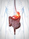 Highlighted stomach Stock Photos