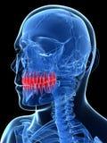 Highlighted teeth Stock Photos