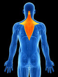 Highlighted trapezius Royalty Free Stock Photos
