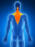 Highlighted trapezius Stock Photos