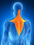 Highlighted trapezius muscle Royalty Free Stock Photos