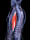Highlighted triceps. 3d rendered illustration of the triceps Royalty Free Stock Photos