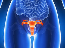 Highlighted uterus Stock Images