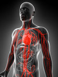 Highlighted vascular system Royalty Free Stock Photo