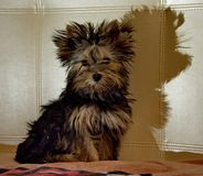 Yorkshire Terrier puppy dog at home Royalty Free Stock Photography