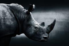 Highly alerted rhinoceros monochrome portrait. Fine art, South Africa. Ceratotherium simum Stock Photo