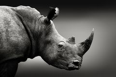 Black and white rhino portrait stock images