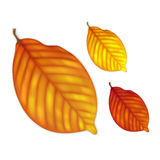 Highly detailed autumn leaves Stock Image