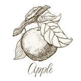 Highly detailed hand drawn apple. Highly detailed hand drawn garden fruit. Apple on a branch Royalty Free Stock Photography
