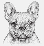 Highly detailed hand drawn French Bulldog vector illustration Stock Images