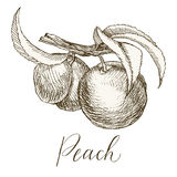 Highly detailed hand drawn peach. Highly detailed hand drawn garden fruit. Peach on a branch Stock Photos