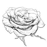 Highly detailed hand drawn rose Stock Photos