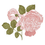 Highly detailed hand drawn roses. Highly detailed vintage hand drawn roses on white background Royalty Free Stock Photography