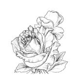 Highly detailed hand drawn roses. Royalty Free Stock Image