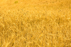 Highly detailed image of golden wheat field Stock Image