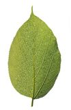 Highly detailed macro photo of healthy green leaf stock photos