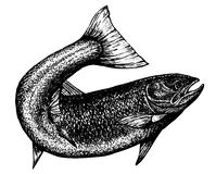 Highly detailed sketch of a salmon Stock Photography