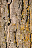 Highly detailed tree bark texture, background Royalty Free Stock Photography