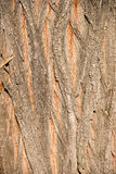 Highly detailed tree bark texture, background Royalty Free Stock Photo
