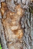 Highly detailed tree bark texture. Close up of old tree bark texture in the forest, highly detailed Royalty Free Stock Image