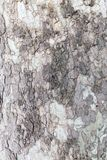 Highly detailed tree bark texture. Close up of old tree bark texture in the forest, highly detailed Royalty Free Stock Photo
