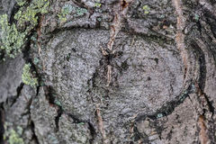Highly detailed tree bark texture. Close up of old tree bark texture in the forest, highly detailed Stock Photography