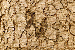 Highly detailed tree bark texture. Close up of old tree bark texture in the forest, highly detailed Stock Photo